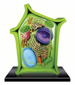 beautifully detailed plant cell anatomy