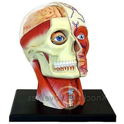 Fame Master 4D Vision Human Head Anatomy Model